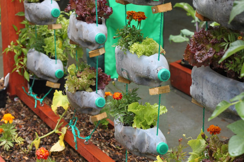 Lettuces growing in hanging milk bottles