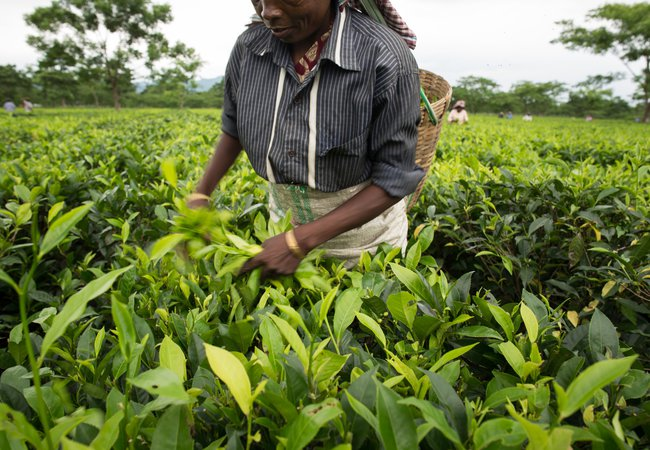 A woman plucking tea leaves in the garden