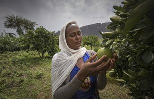 Birhan is picking fruit from a tree in Ethiopia