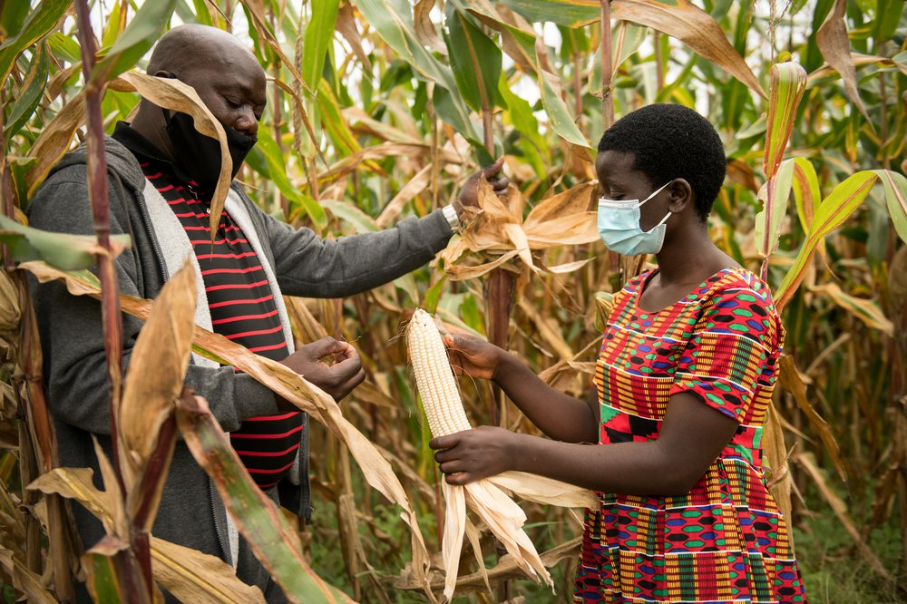 Senior Chief Lukwa and Jessy inspect maize in a field of maize. Both wear facemasks