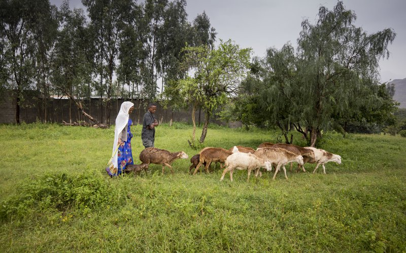 Birhan with her goats crossing lush grassland in Ethiopia