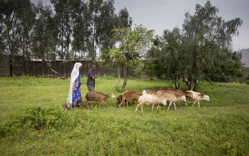 Birhan with her goats crossing lush grassland in Ethiopia