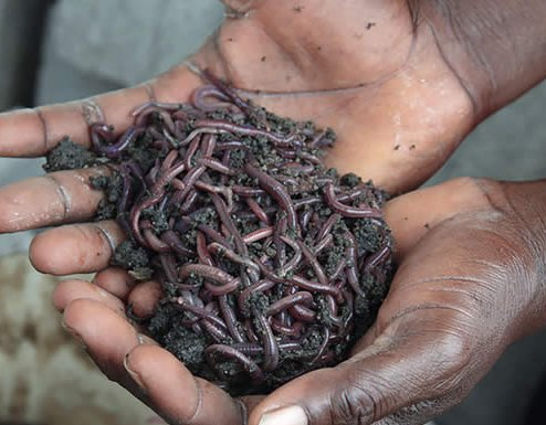 Tiger worms are used to breakdown the waste in the latrine